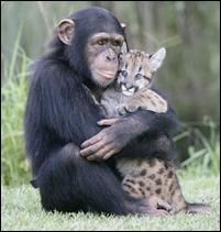 chimpanze abraça leopardo
