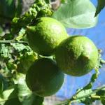 citroenen dragen en bloeien ook in ieder jaargetijde