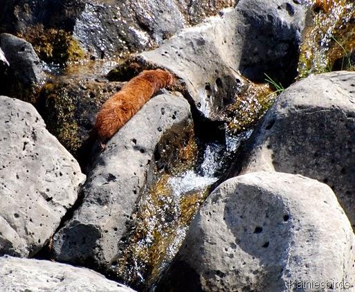 16. weasel-kab