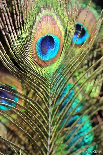 Color Peacock feathers
