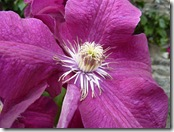 portmore clematis