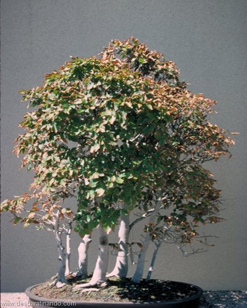 Bonsai - miniature Japanese beech forest