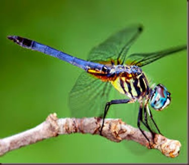 Amazing Pictures of Animals, photo Nature, exotic, funny ,incredibel Zoo, Dragonfly, Insecta, Alex (12)