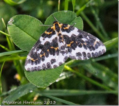 10-magpie-moth