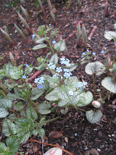 Pretty blue flowers of Brunnera 'Jack Frost' and the emerging pink spikes of Solomon's seal (Polygonatum).