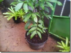 tanaman kelengkeng dengan media gambut