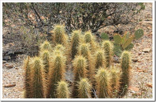 Echinocereus-nicholii_01