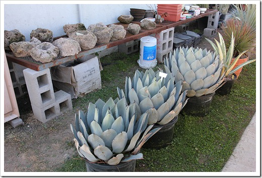 111119_Poots_Agave-parryi_001