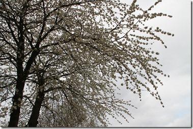 クリークの木は花が満開