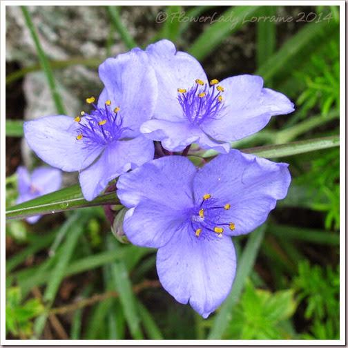 04-08-spiderwort