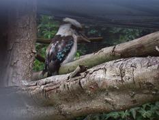 2013.08.04-034 kookaburra