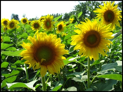sun-flower_3306