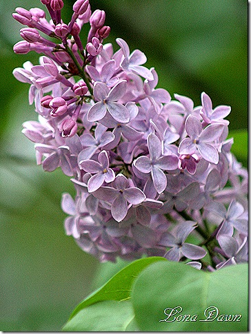 Lilacs_Of_Spring