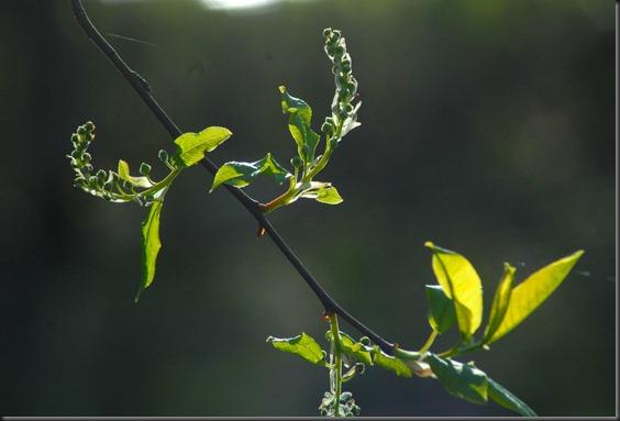 hanne  puun kukat 035