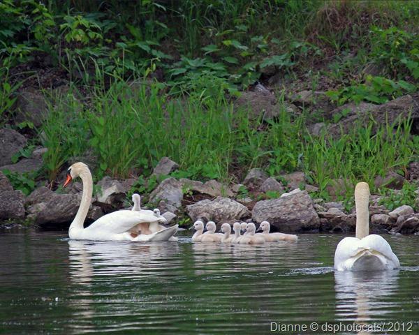 IMG_3136 Swan Family