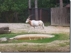 2008.05.26-004 oryx algazelle