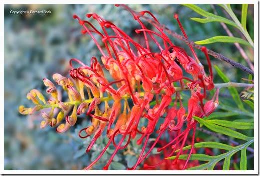 131124_UCD_Arboretum_AustralianCollection_Grevillea-Masons-Hybrid_16