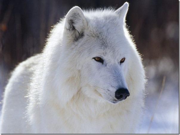 Lobos (16)