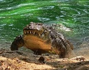 Amazing Pictures of Animals, Photo, Nature, Incredibel, Funny, Zoo, West African, crocodile desert crocodile, Crocodylus suchus, Alex (1)