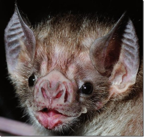 murcielago-vampiro