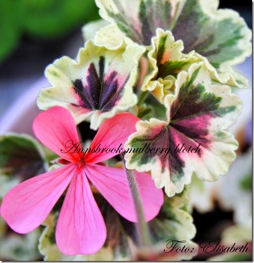 Pelargonium 16 juni -14 071