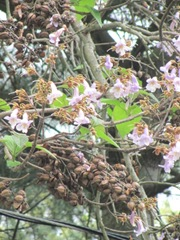 tree with purple flowers3