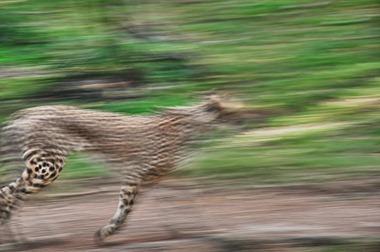 cheetahOUT