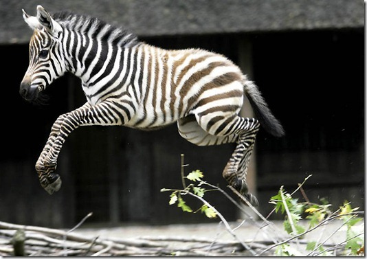 GERMANY-ANIMALS-ZEBRA