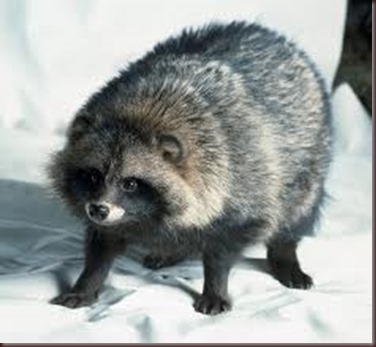 Amazing Animal Pictures Racoon Dog (7)