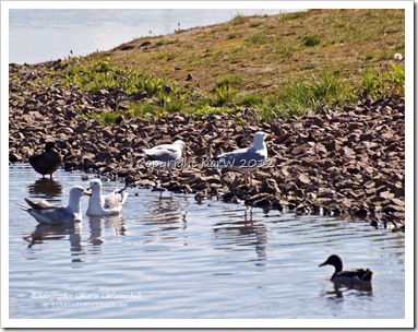 The daily life in the pond, with different gulls and ducks.