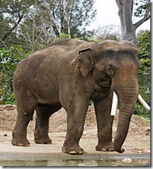 220px-Asian_elephant_-_melbourne_zoo