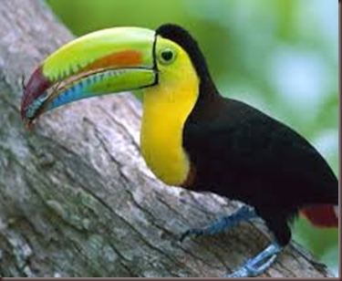 Amazing Pictures of Animals photo Nature exotic funny incredibel Zoo, Ramphastidae, Toucan, Bird, Alex (5)