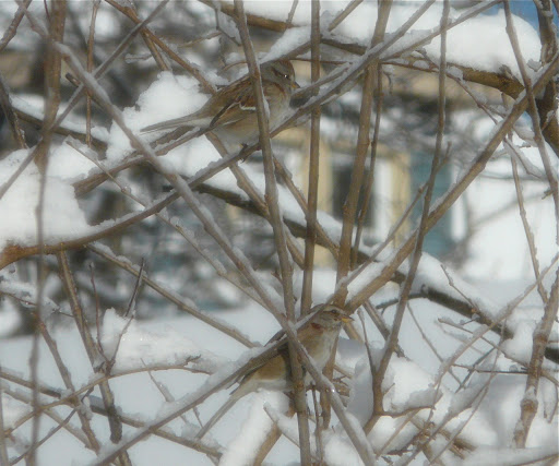 Two American Tree Sparrows in yard, 2/9/13 - after the Blizzard