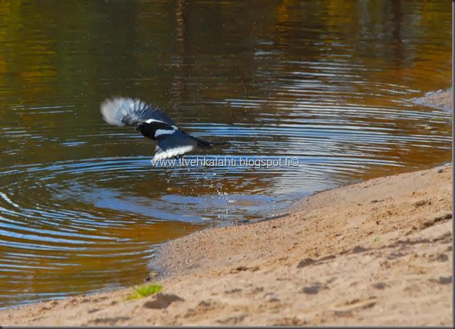 itikoita varikset kylpee h tiainenn 069