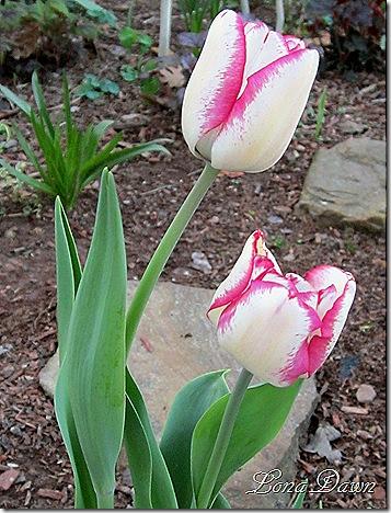 Tulip_HotPants