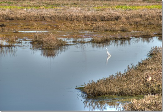 A heron standing in a pond