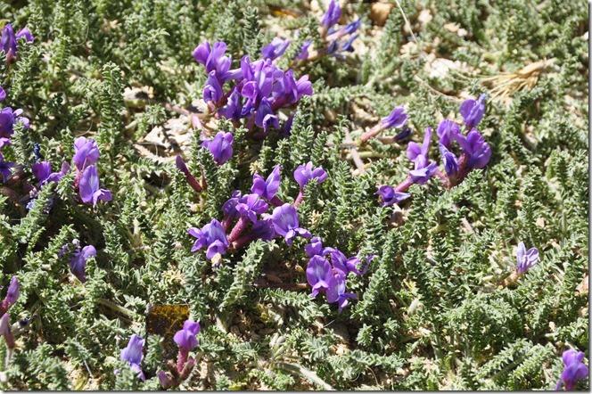 Vers lac  tso kar 014 fleurs du desert