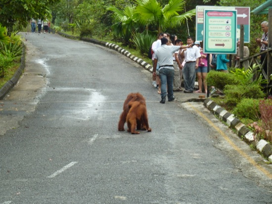 Taking a walk up the road, and a keeper keeping the tourists back...