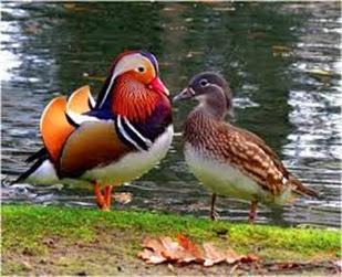 Amazing Pictures of Animals, Photo, Nature, Incredibel, Funny, Zoo, Mandarin Duck, Aix galericulata, Alex (15)