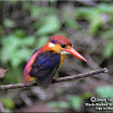 Black-Backed Kingfisher --- Ceyx erithacus.jpg