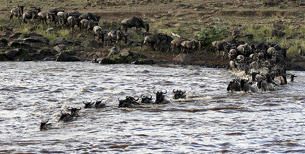 Part of a herd of some 1.5 million wildebeests crosses the Mara River in the Maasai Mara Game Reserve during an annual migration in August 2006. Tanzanians living around the Serengeti Game Reserve allegedly set the area on fire to block the wildebeest migration. nation.co.ke
