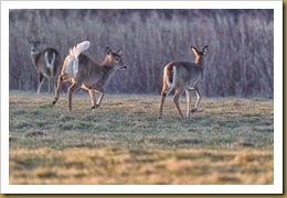 - White-tailed Deer - Does - tailD7K_2700 January 29, 2012 NIKON D7000