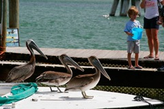 Feeding-the-Tarpon---Unwanted-Guests
