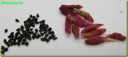 Epithelantha micromeris fruits and seeds