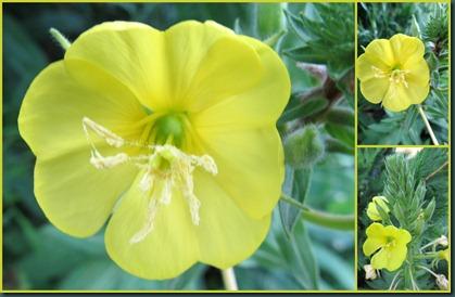 primrose collage0608
