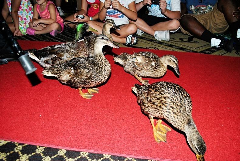 peabody-ducks-3