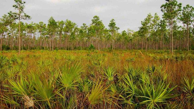 About 88 acres of rockland forest, a globally imperiled habitat containing a menagerie of plants, animals and insects found no place else, was sold in July 2014 by the University of Miami to Palm Beach County developer Ram. The forest will be bulldozed to make room for a Wal-Mart shopping center. Photo: Miguel Vieira