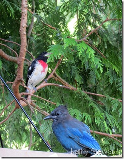 Rose-breasted Grosbeak and young Steller's Jay