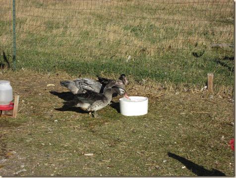 Ducks 013