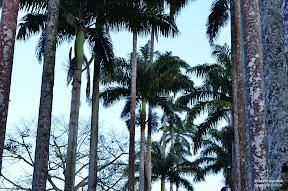 Palmeiras - Jardim Botânico